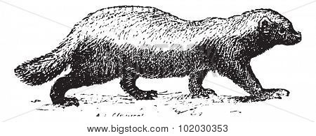 Ratel or Honey badger (Mellivora capensis) isolated on white, vintage engraved illustration. Dictionary of words and things - Larive and Fleury - 1895.