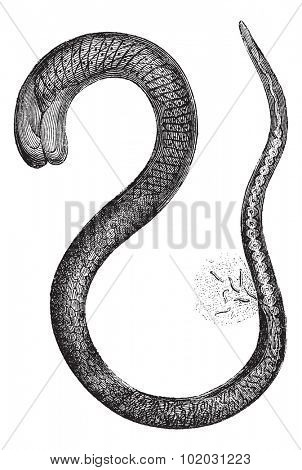Trichinella adult female, magnified 150 times, vintage engraved illustration. Magasin Pittoresque 1875.