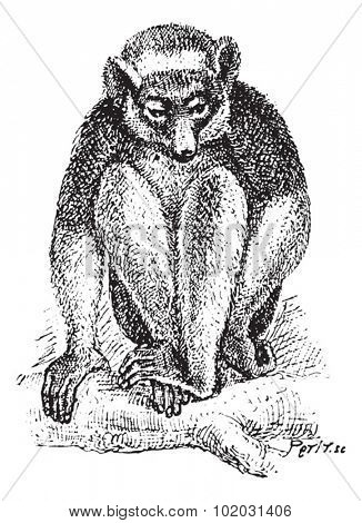 Old engraved illustration of Indri or Babakoto or Indri indri sitting on the tree branch. Dictionary of words and things - Larive and Fleury - 1895