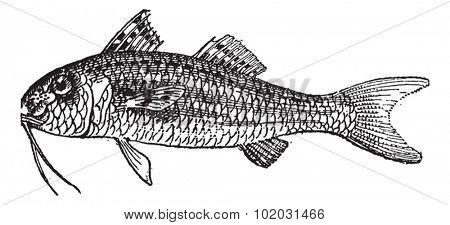 Red Mullet or Surmullet isolated on white background, vintage engraved illustration. Dictionary of words and things - Larive and Fleury - 1895.