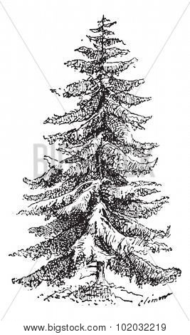 Old engraved illustration of Norway Spruce or Picea abies or European Spruce. Dictionary of words and things - Larive and Fleury - 1895