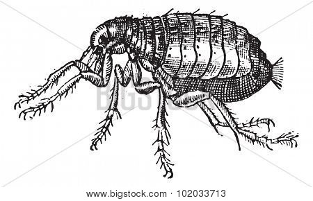 Flea isolated on white background, vintage engraved illustration. Dictionary of words and things - Larive and Fleury - 1895.