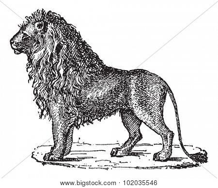 Lion or Panthera leo, vintage engraved illustration. Dictionary of Words and Things - Larive and Fleury - 1895