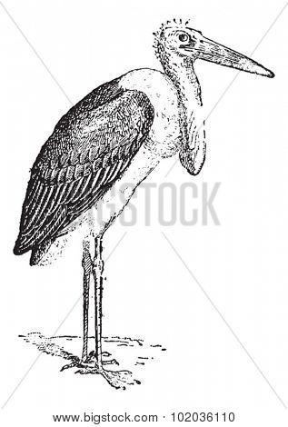 Marabou Stork or Leptoptilos crumeniferus, vintage engraved illustration. Dictionary of Words and Things - Larive and Fleury - 1895