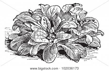 Corn Salad or Valerianella locusta, vintage engraved illustration. Dictionary of Words and Things - Larive and Fleury - 1895