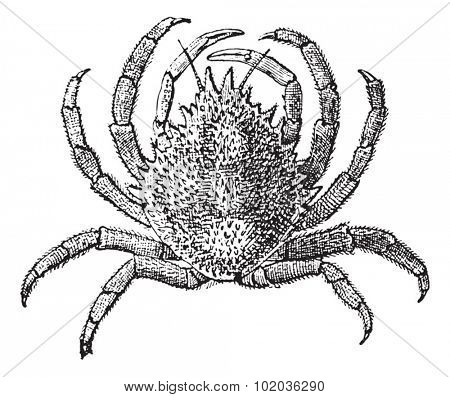 European Spider Crab or Maja squinado, vintage engraved illustration. Dictionary of Words and Things - Larive and Fleury - 1895
