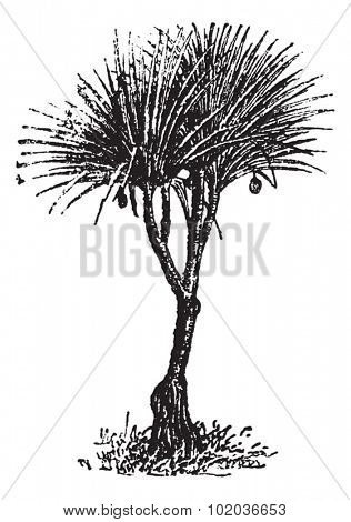 Vaquois (pandanus candelabrume), vintage engraved illustration. Dictionary of words and things - Larive and Fleury - 1895.
