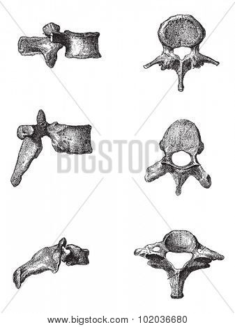 Human Vertebrae, side view (Left) and top view (right) of the Lumbar Vertebrae (top), Dorsal Vertebrae (middle), and Cervical Vertebrae (bottom), illustration. Dictionary of Words and Things - 1895