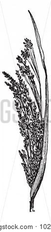 Common Millet or Panicum miliaceum, showing flowers, vintage engraved illustration. Dictionary of Words and Things - Larive and Fleury - 1895