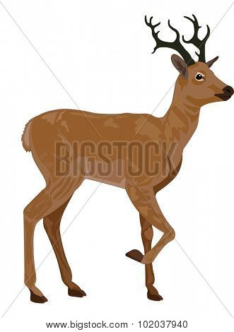 Deer, Buck, Brown, Male, vector illustration