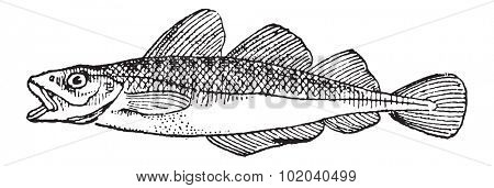 Cod, vintage engraved illustration. Dictionary of Words and Things - Larive and Fleury - 1895