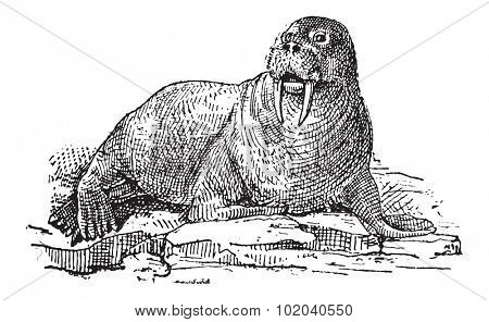 Walrus or Odobenus rosmarus, vintage engraved illustration. Dictionary of Words and Things - Larive and Fleury - 1895