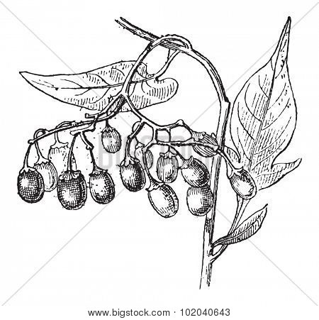 Bittersweet or Solanum dulcamara, showing fruits, vintage engraved illustration. Dictionary of Words and Things - Larive and Fleury - 1895