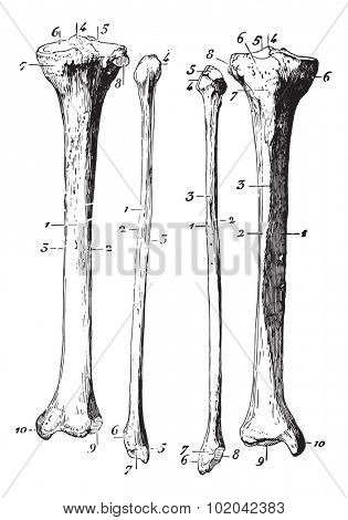 Skeleton of the leg, vintage engraved illustration. Usual Medicine Dictionary - Paul Labarthe - 1885.