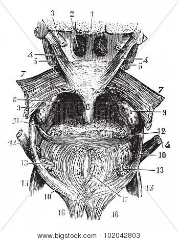 Transverse portion of the tongue, the back of the throat, vintage engraved illustration. Usual Medicine Dictionary - Paul Labarthe - 1885.