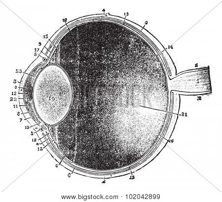 Anterior-posterior section of the eye, vintage engraved illustration. Usual Medicine Dictionary - Paul Labarthe - 1885.