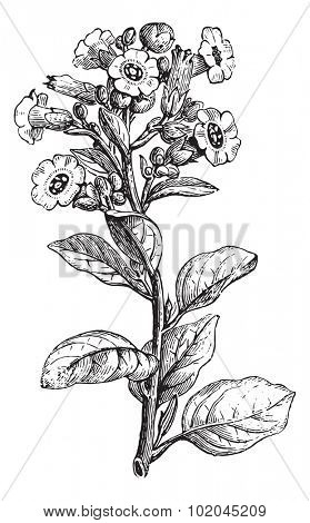 Rustica tobacco or Nicotiana rustica or Mapacho or Thuoc lao, vintage engraved illustration. Usual Medicine Dictionary by Dr Labarthe - 1885.