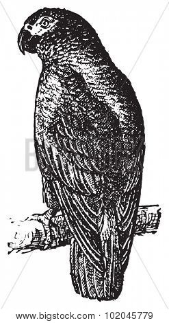 Parrot or Psittacines, vintage engraved illustration. Dictionary of words and things - Larive and Fleury - 1895.