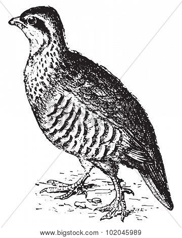 Partridge, vintage engraved illustration. Dictionary of words and things - Larive and Fleury - 1895.