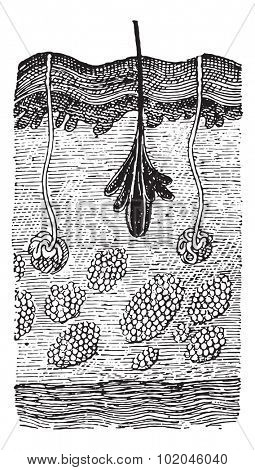 Man's Skin, vintage engraved illustration. Dictionary of words and things - Larive and Fleury - 1895.