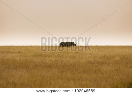 Critically Endangered Black Rhinoceros In African Savanna