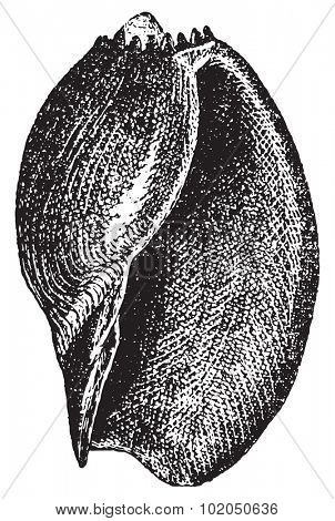 Volute or Voluta aethiopica, vintage engraved illustration. Dictionary of words and things - Larive and Fleury - 1895.