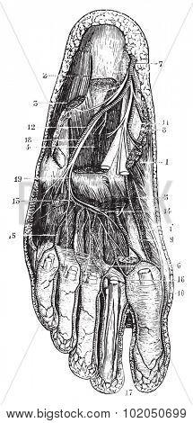 Deep plantar region, vintage engraved illustration. Usual Medicine Dictionary - Paul Labarthe - 1885.  poster