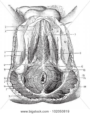 Perineum humans, vintage engraved illustration. Usual Medicine Dictionary - Paul Labarthe - 1885.