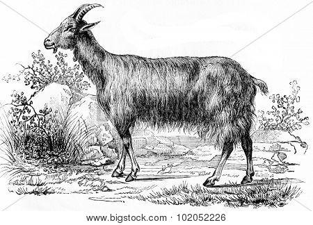 Goat, vintage engraved illustration. Natural History of Animals, 1880.