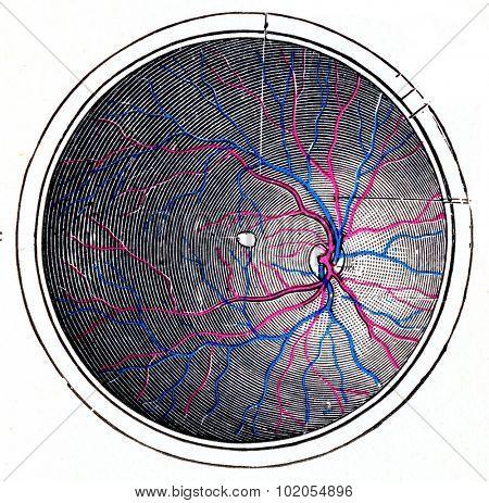 Retina of the right eye, vintage engraved illustration.