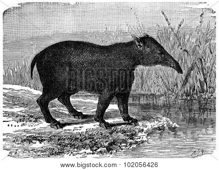 The great Paleotherium, mammal pachyderm of the Eocene period, vintage engraved illustration. Earth before man 1886.
