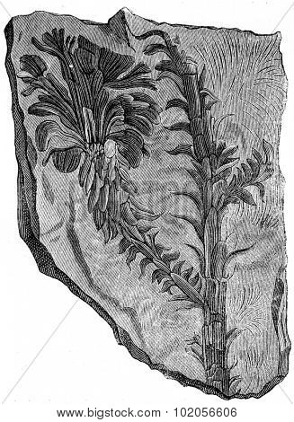 Voltzia heterophylla, Plants of the Triassic period, vintage engraved illustration. Earth before man  1886.
