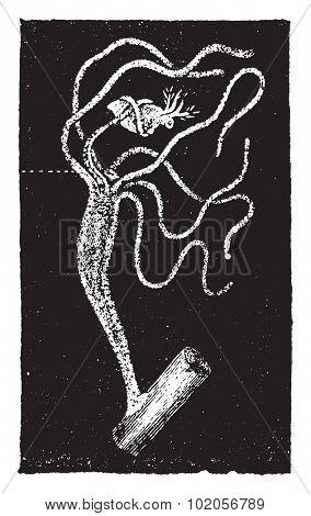 Hydra, vintage engraved illustration. Natural History of Animals, 1880.