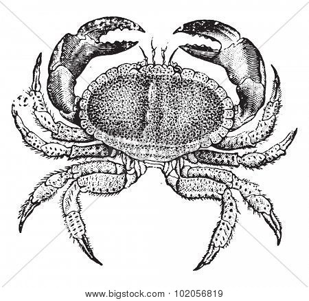 Edible crab, vintage engraved illustration. Natural History of Animals, 1880.