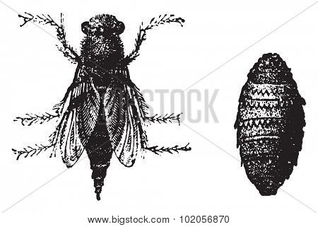 Botfly, vintage engraved illustration. Natural History of Animals, 1880.