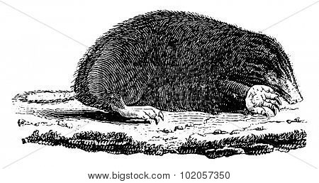 Taupe, vintage engraved illustration. Natural History of Animals, 1880.