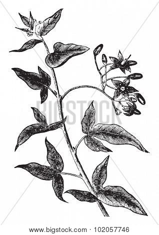 Bittersweet or solanum dulcamara, vintage engraved illustration. La Vie dans la nature, 1890.