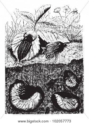 Beetles. Male, female, larvae (grubs) and nymph, vintage engraved illustration. La Vie dans la nature, 1890.