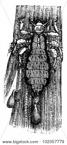 Head louse, vintage engraved illustration. La Vie dans la nature, 1890.