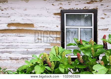 Pokeweed Or Pokeberry Foliage And Fruit And Wooden Wall From Logs With Window As A Background Textur
