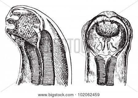 Cephalic extremity of dochmius duodenalis, vintage engraved illustration.