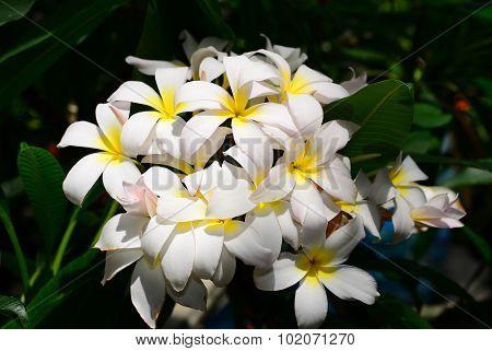 White Yellow Plumeria Flower