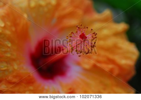 Orange Yellow Hibiscus Flower