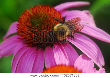 Echinacea Purpurea Purple Coneflower Flower