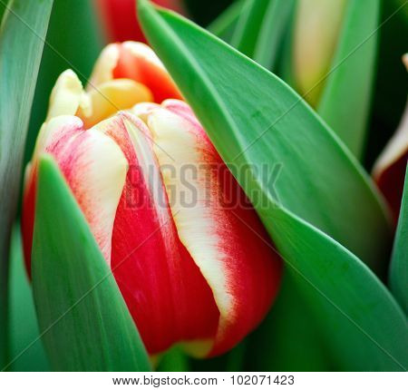 Red Yellow Tulip Flower