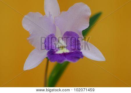 Purple White Orchid Flower