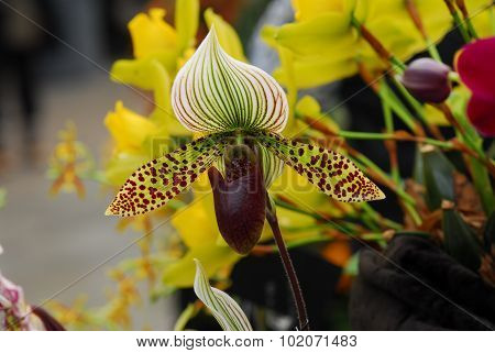 Paphiopedilum Green White Orchid Flower