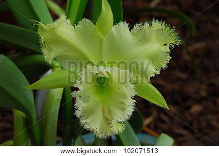 Green Cattleya Orchid Flower