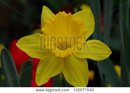 Daffodil Narcissus Yellow Flower