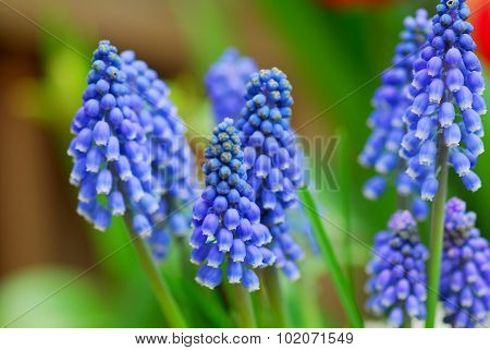 Grape Hyacinth Muscari Armeniacum Flower